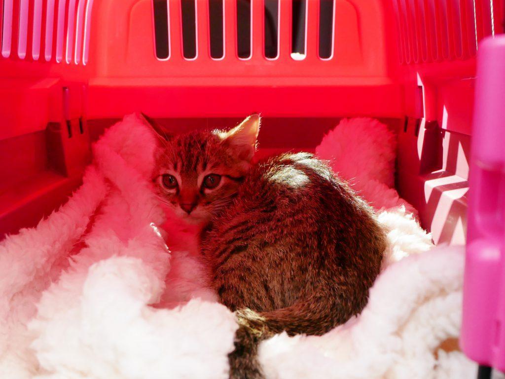 子猫,ネコ,里親