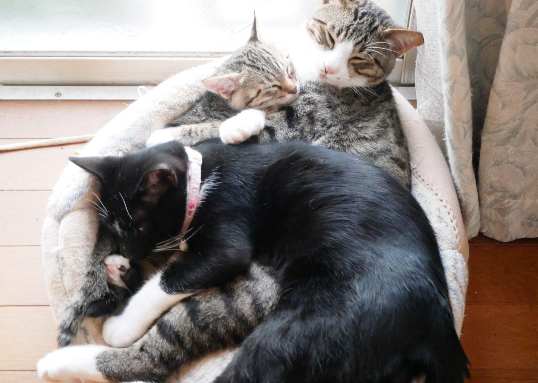 猫,ネコ,子猫,里親募集