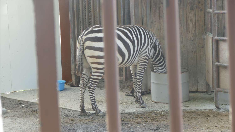徳山動物園しまうま