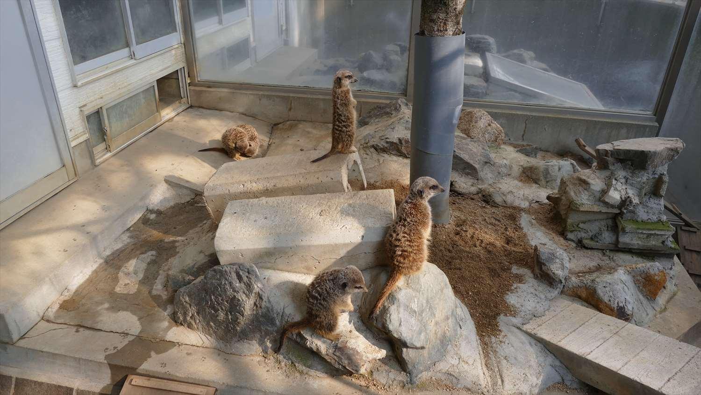 徳山動物園ミーアキャット