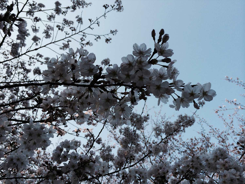 若山城跡の桜